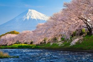 28464017 - fuji and sakura at river in the morning